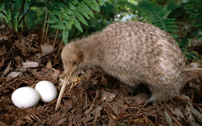 Great-Spotted-Kiwi2