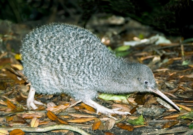 Great-Spotted-Kiwi3