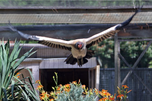 King-Vulture2