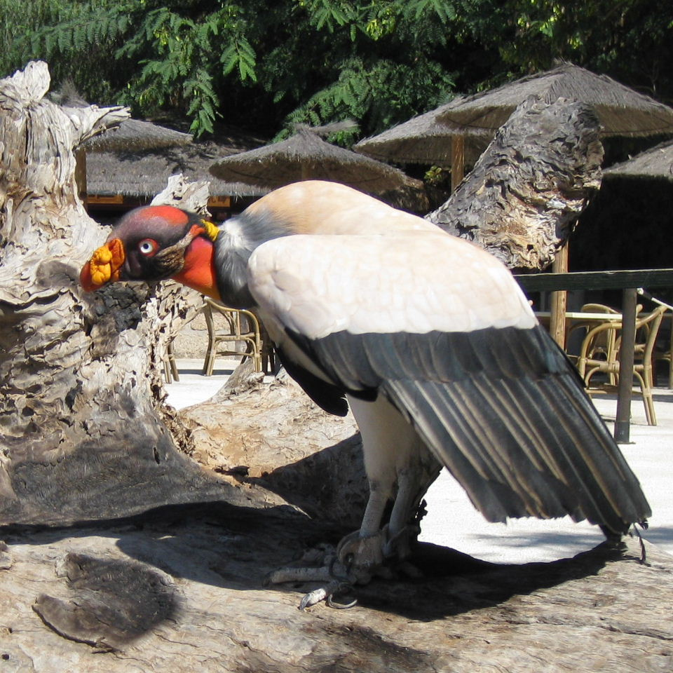 King-Vulture6