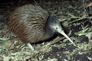 North-Island-Brown-Kiwi