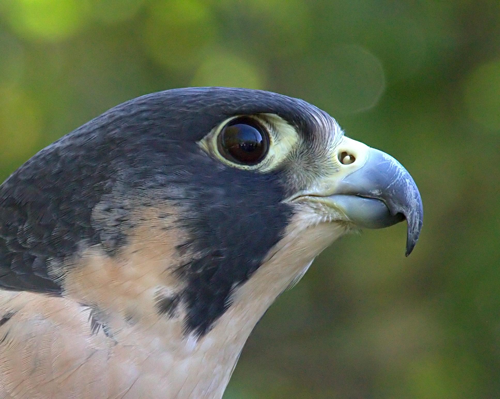 Peregrine-Falcon5