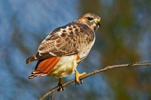 Red-Tailed-Hawk8