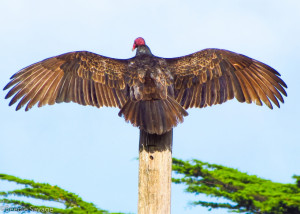 Turkey-Vulture2