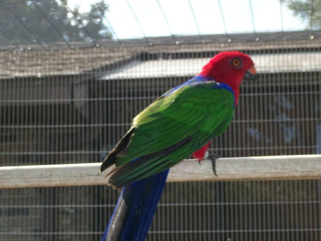 Ambonia-King-Parrot-Waiting- For-Time-To-Pass