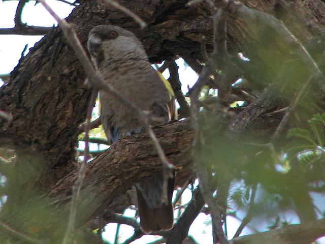 Angola-Brown-Parrot-Hidden