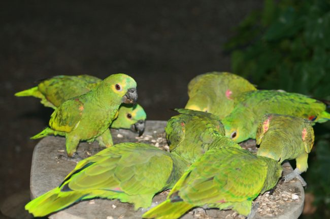 Blue-Fronted-Amazon-Parrot-Big-Family