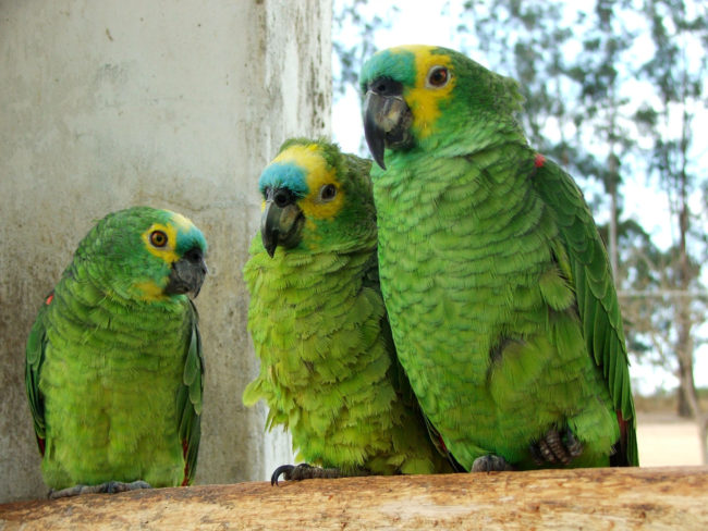 Blue-fronted Amazon parrots