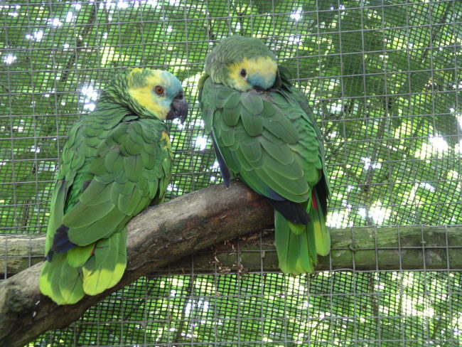 Blue-Fronted-Amazon-Parrot-Trapped