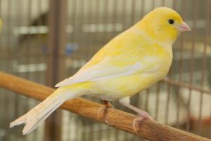 Canary-American
