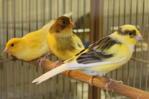 Canary-American1