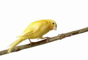 Canary-American2