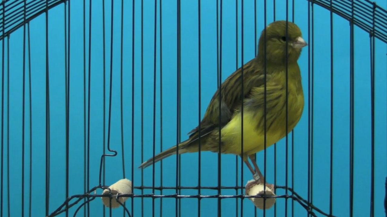 Canary-Border3