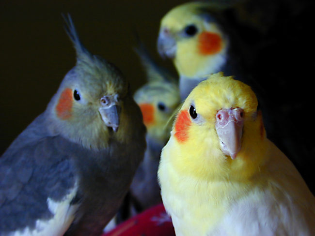Cockatiel-Parrot-Big-Family