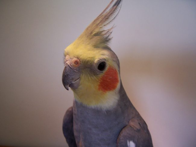 Cockatiel-Parrot-Portrait