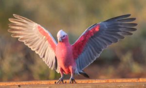 Cockatoo-Rose-Breasted-Parrot-Takeoff