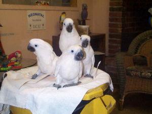 Cockatoo-Umbrella-Crested-Parrot-Big-Family