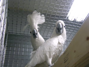 Cockatoo-Umbrella-Crested-Parrot-In-Prison