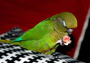 Conure-Marooned-Bellied-Parrot-Dinner