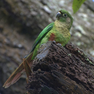 Conure-Maroon-Bellied-Parrot-Free-And-Happy