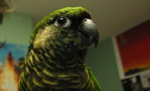 Conure-Marooned-Bellied-Parrot-Portrait