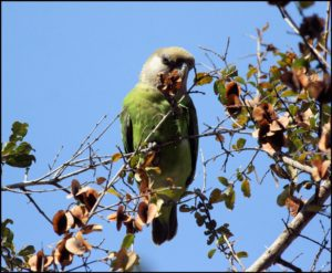 East-African-Brown-Parrot-Dinner
