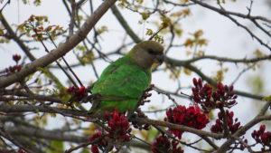 East-African-Brown-Parrot-Hidden
