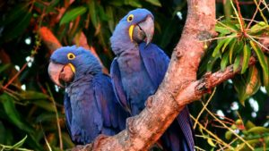 Macaw-Glaucous-Parrot-At-Sunset
