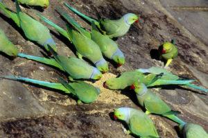 Parakeet-African-Ringneck-Parrot-Dinner-Time
