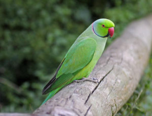 Parakeet-African-Ringneck-Parrot-On-A-Branch