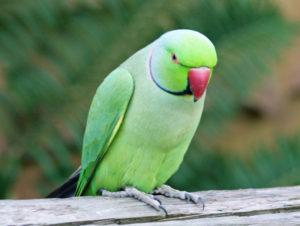 Parakeet-African-Ringneck-Parrot-Photo