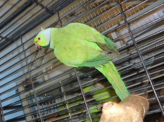 Parakeet-African-Ringneck-Parrot-Trapped