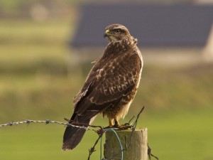 Buzzard-Common4
