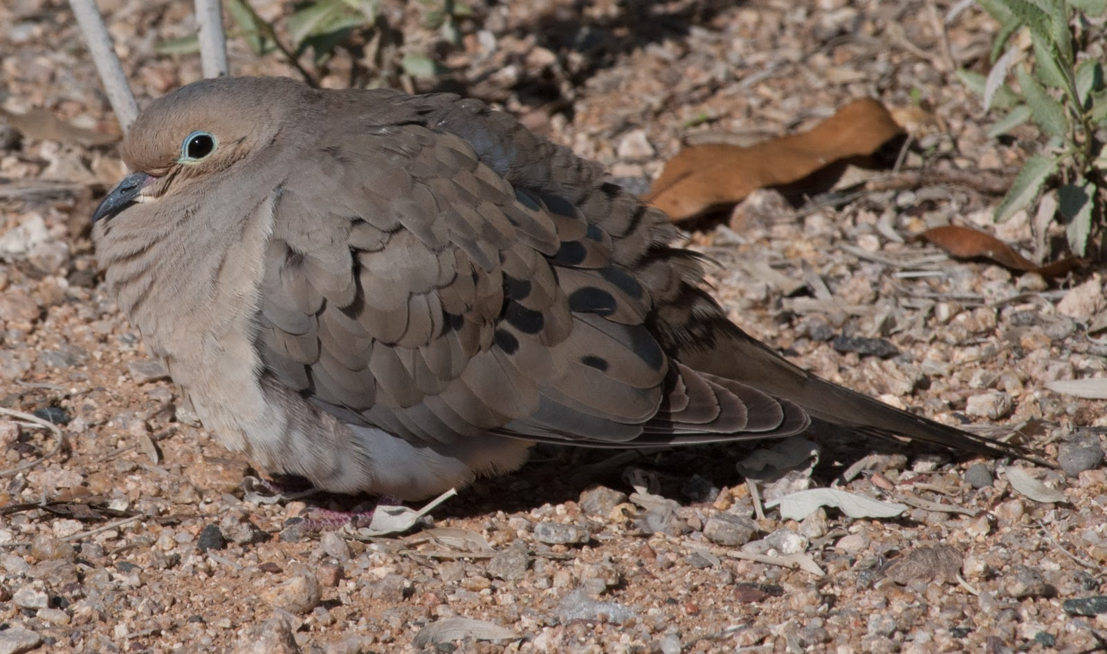 Dove-Mourning1