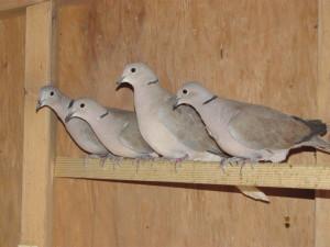Dove-Ringneck