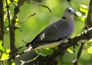 Dove-Ringneck1