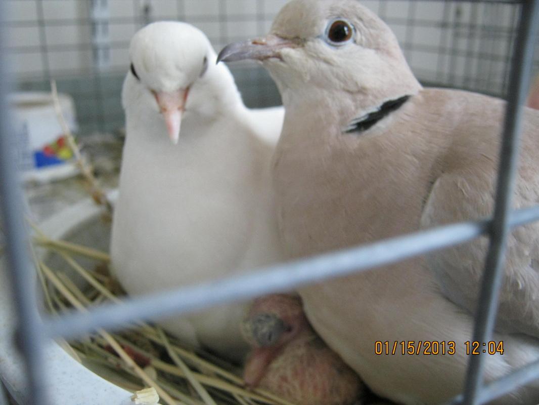 Dove-Ringneck5