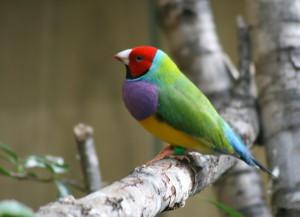 Finch-Gouldian1