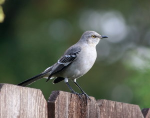 Mockingbird-Northern