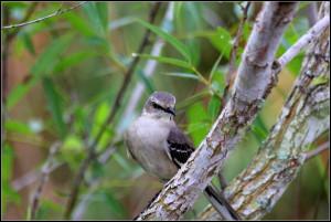 Mockingbird-Northern1