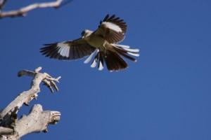 Mockingbird-Northern3