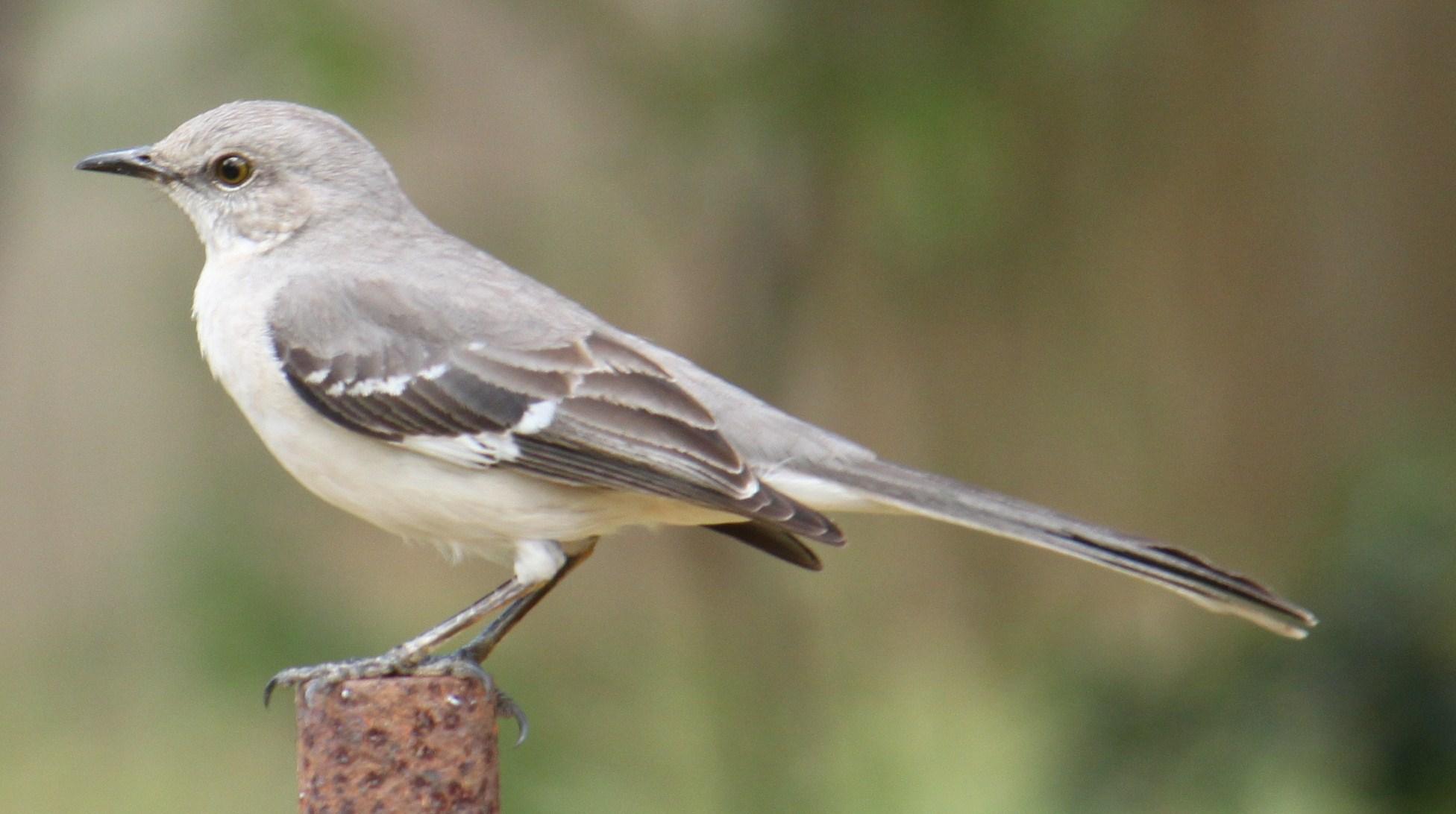 Mockingbird-Northern5