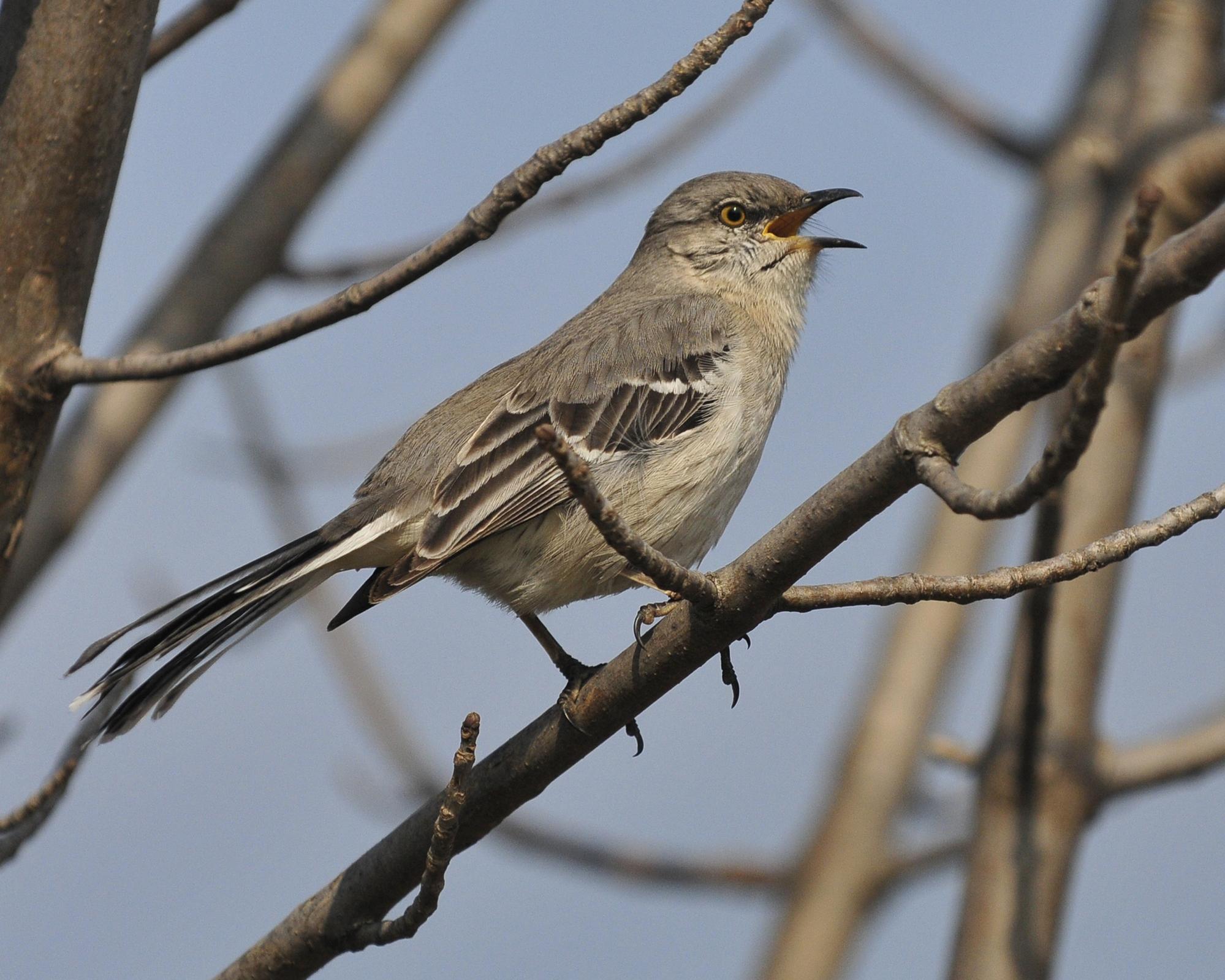 Mockingbird-Northern7