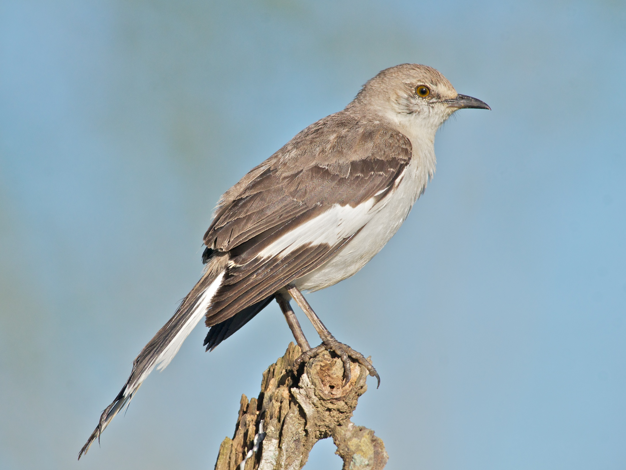 Mockingbird-Northern8