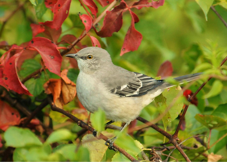 Mockingbird-Northern9