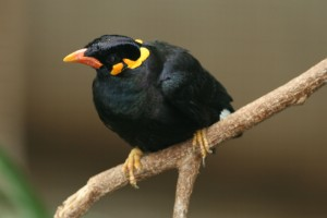 Mynah-Java-Hill
