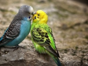 Two Cute Parrotlets