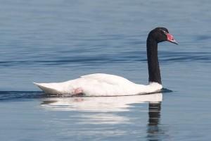 Black-Necked-Swan