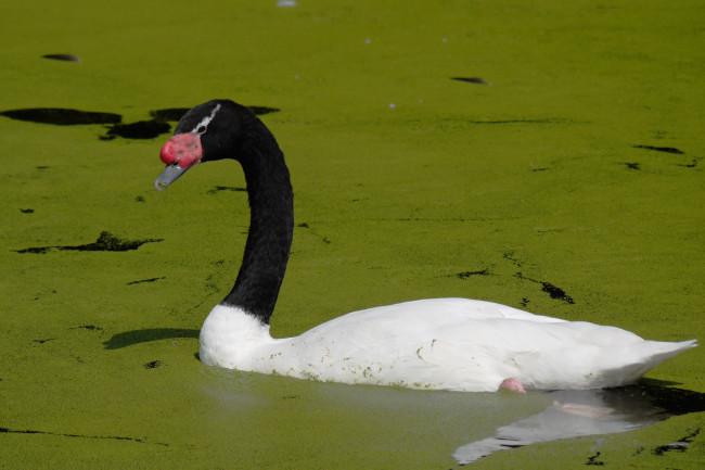 Black-Necked-Swan-Green-Lake