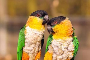 Two Caiques Birds